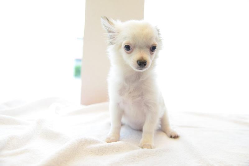 埼玉県入間郡越生のわんにゃん美容室88・きくた動物病院では犬を販売中